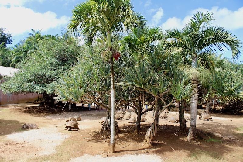 Aldabra Tortoises in Mauritius. La Vanille Nature Park