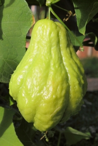Chayote is widely used in Mauritian cuisine. Also know as christophine, cho-cho, pipinola (Hawaii) or choko