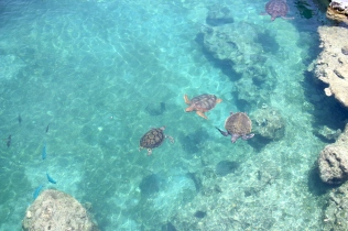View of Sea Turtles at Kélonia, the turtle observatory in Saint-Leu, Reunion Island