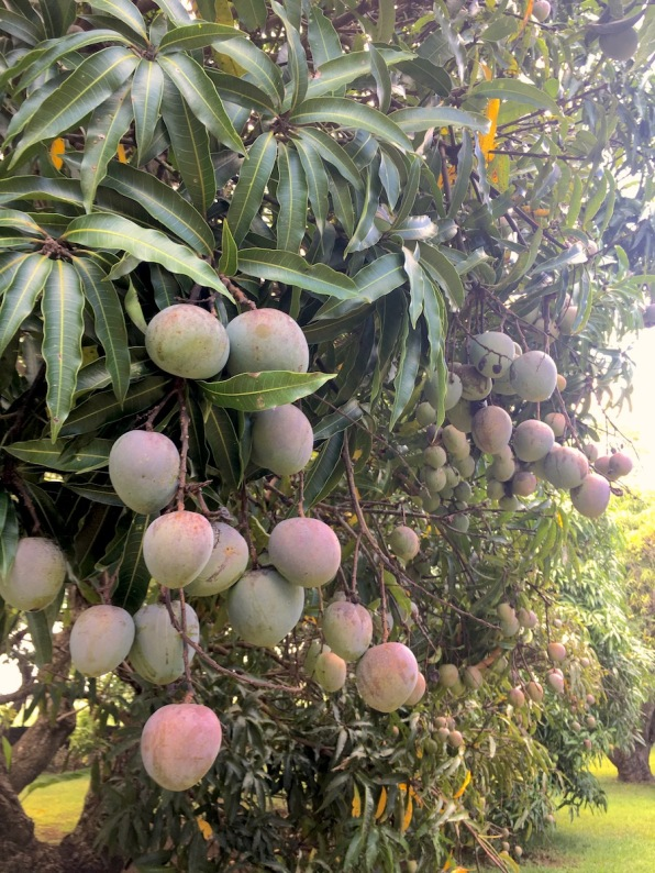 Mango tree at Château de Labourdonnais in Mauritius