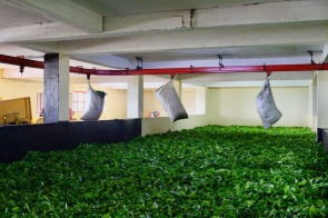 Leaves put out to dry at Bois Chéri Tea Plantations Mauritius - Visits in Mauritius - Things to do in Mauritius