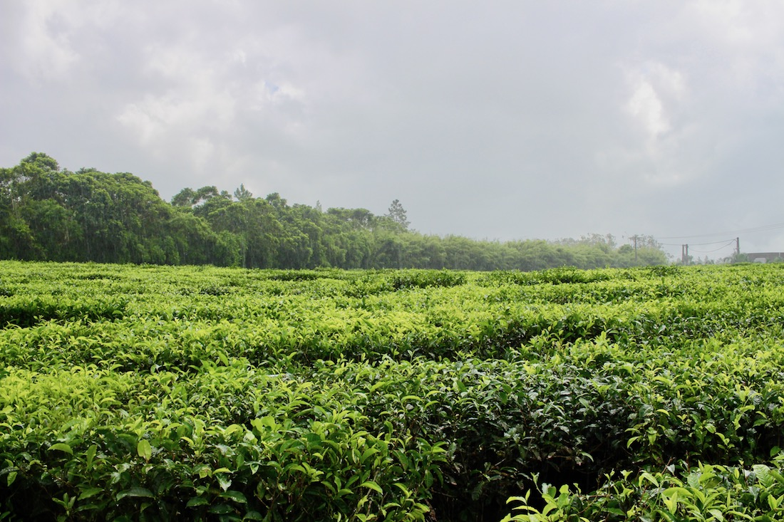 Things to do in Mauritius: Visit and lunch at the tea plantations of Bois Chéri