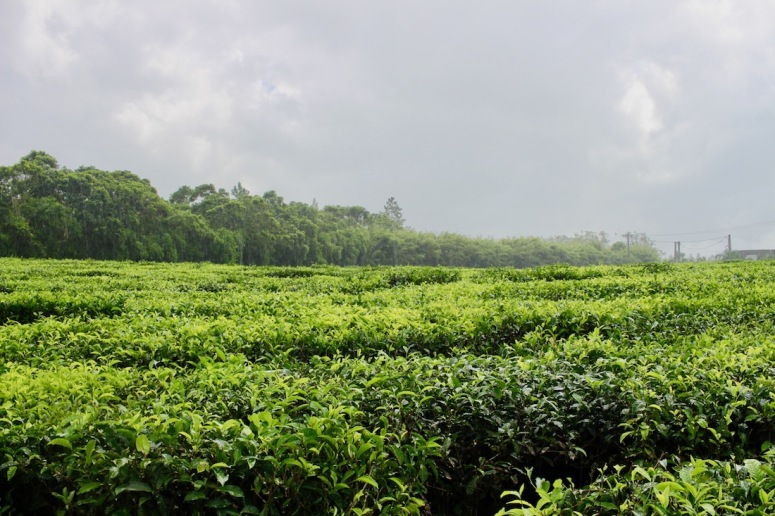 View of tea plantations at Bois Cheri in Mauritius - Visit Mauritius - Things to do in Mauritius